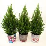 Zucherhutfichten für den vorweihnachtlichen Verkauf