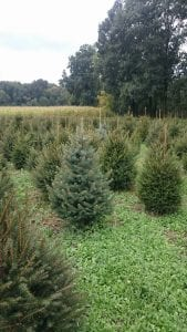 Weihnachtsbäume im Topf
