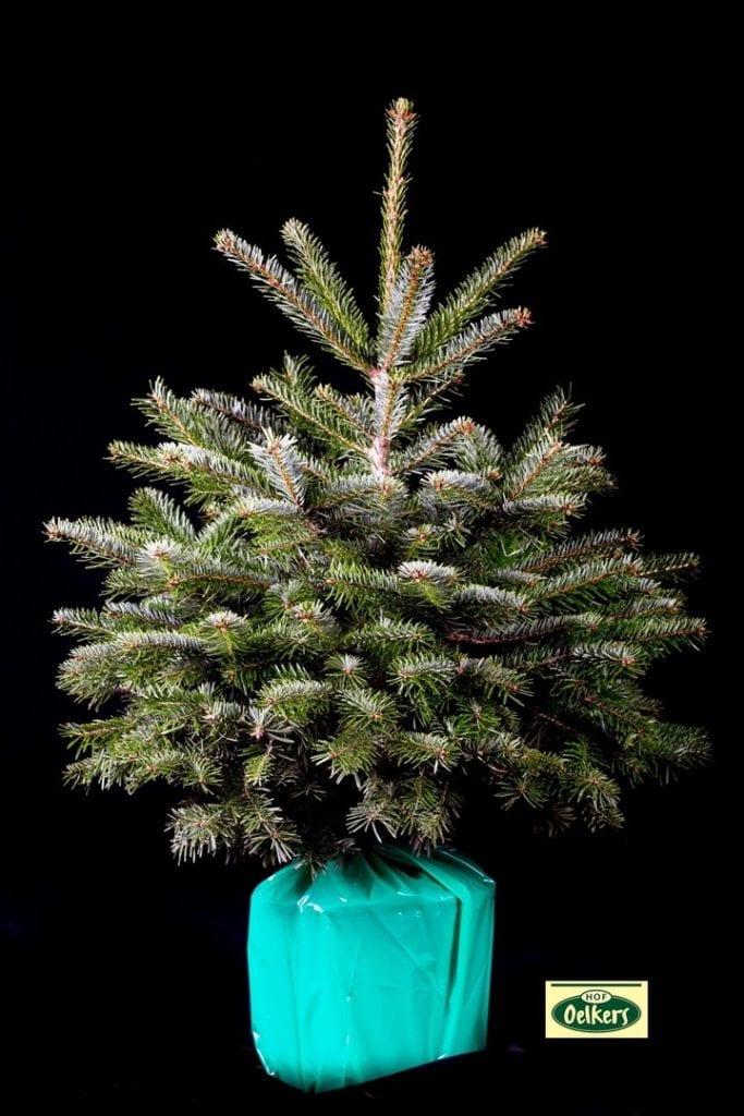 Weihnachtsbäume im Topf Topfbäume
