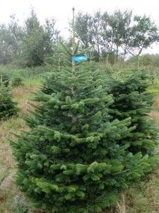 Weihnachtsbäume Standard Nordmanntannen