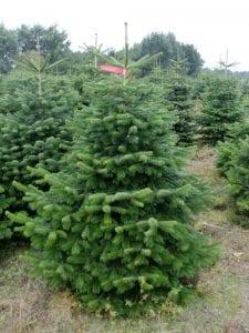 Weihnachtsbäume Premium Nordmanntannen