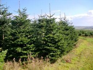 Weihnachtsbäume Yütland