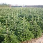 Weihnachstbäume im Topf